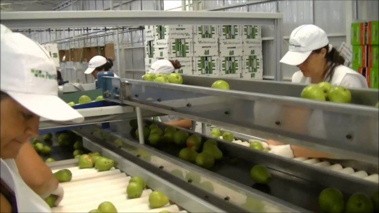 El gremio de los empacadores es el más numeroso de la fruticultura