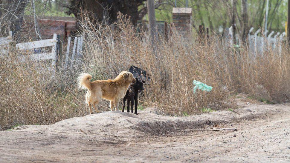 Una gran cantidad de perros se puede observar en los baldíos y las calles del Distrito Vecinal Noreste. Se produjo una seguidilla de ataques.