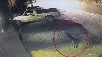 aparecio un puma merodeando en un estacionamiento de bariloche