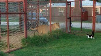 Una gatita valiente desafía a una leona