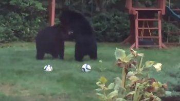 Dos osos se infiltraron en un patio para jugar al fútbol