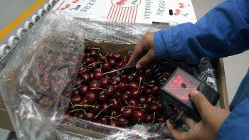 Producto perecedero. La cereza necesita una rápida salida al mercado para no echarse a perder y los productores buscan mejorar la manera de hacerlo.