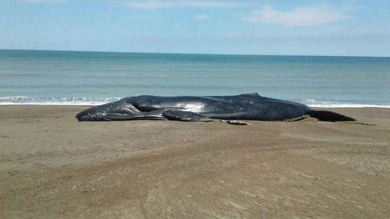 Una ballena quedó varada en Bahía Rosas, cerca de El Cóndor