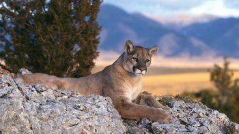 lago mascardi: cerraron campings por la presencia de pumas