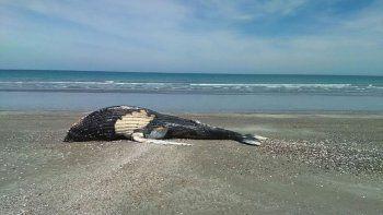 una ballena jorobada aparecio muerta en puerto san antonio este