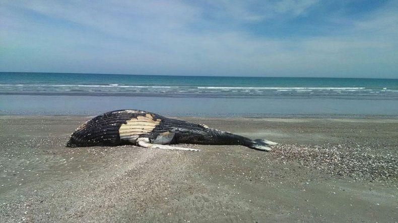 Una ballena jorobada apareció muerta en Puerto San Antonio Este