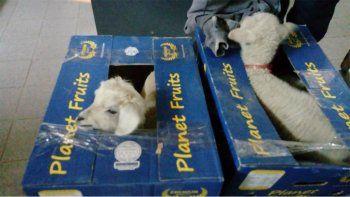 Decomisaron corderos vivos en cajas de bananas
