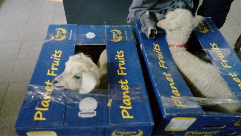 Decomisan corderos vivos en cajas de bananas en Río Colorado