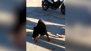 indignante: arrastro a su perro en una moto y lo frenaron los vecinos