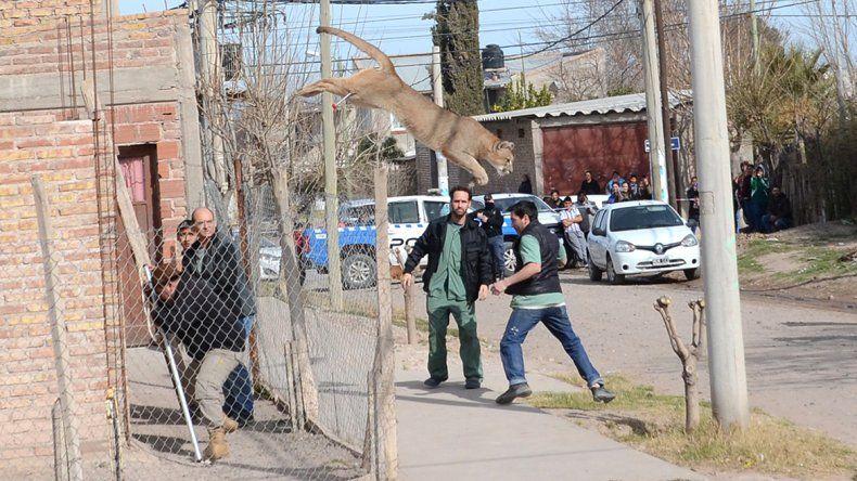 Impactante video: así se escapó el puma que apareció en un barrio de Neuquén