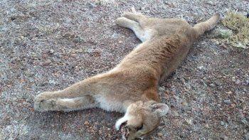 Salta: prisión para los sujetos que mataron brutalmente a un puma ¡Video!