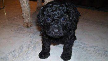 Beethoven, el caniche toy que le robaron al pequeño Lautaro, apareció sano y salvo en el barrio Anai Mapu.