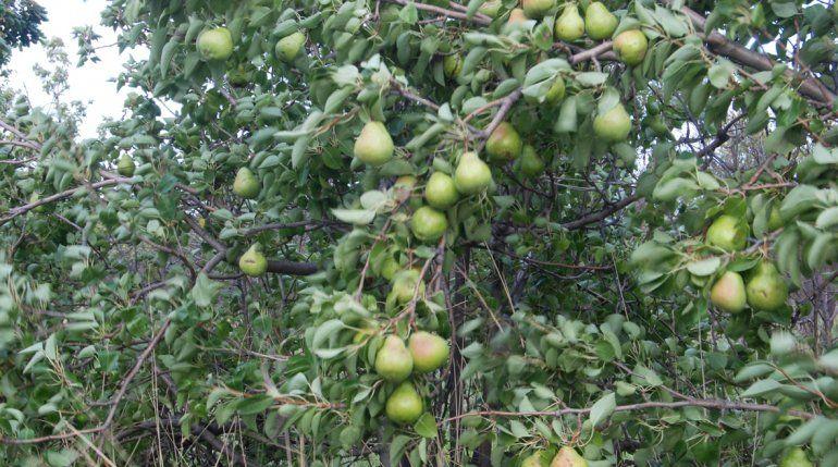 Ayer arrancó oficialmente la temporada de cosecha de la pera Williams sin novedades de los aportes de Nación.