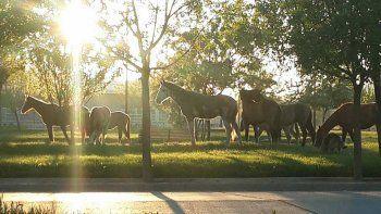 Un hombre llevó a sus caballos a comer pasto a una plazoleta