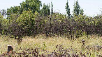 La gran mayoría de las chacras de Cipolletti, donde antes proliferaban manzanas y peras, ya dejaron de producir.