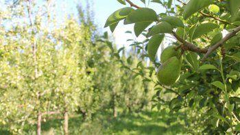 En las chacras cipoleñas aseguran que la fruta no tiene el tamaño necesario.