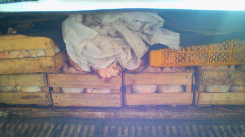 Decomisaron 250 kilos de pollo transportados ilegalmente