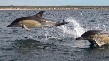 Los delfines nariz de botella son habitantes del golfo San Matías y los avistajes son muy comunes.