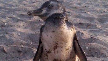 pingüinos viajeros, los nuevos turistas de la playa de las grutas
