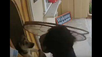 Un perro defendió su hogar y asustó a una vendedora