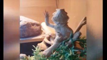 Famoso: un lagarto imita a la gente y saluda a las cámaras