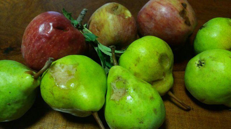 El granizo caído dejó serios daños en peras y manzanas