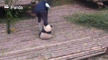 Un panda hace de todo para que su cuidador le de cariño