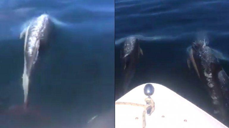 Mirá cómo una familia de delfines acompañó a un barco pesquero