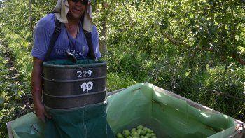 La cosecha es sinónimo de pérdidas para los pequeños productores.