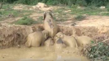 Elefantes trabajaron en equipo para salir de un pozo