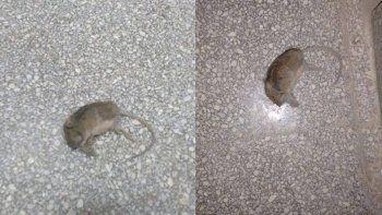 sin clases en dos escuelas mas por presencia de roedores