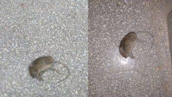 Las ratas aparecieron en los edificios escolares del barrio San Lorenzo.