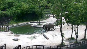 bebe elefante cae al estanque y sus padres corren a salvarlo