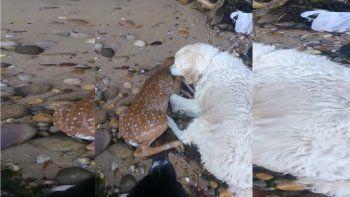 Un perro salvó a un pequeño ciervo que se ahogaba