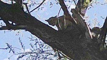 Liberaron en su hábitat natural al puma que se refugió en un árbol