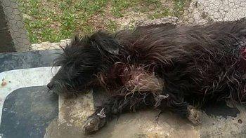 Intentaron robarle y casi matan a su perro a puñaladas