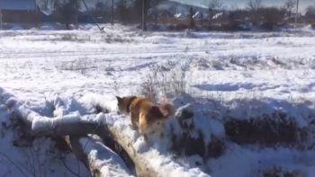 un perro quiso cruzar un puente y fallo en el intento