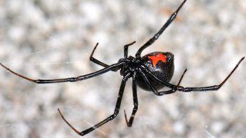 biologos buscan aranas para hacer los antisueros en caso de picadura