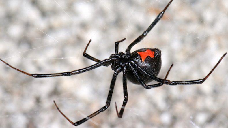 Biólogos buscan arañas para hacer los antisueros en caso de picadura