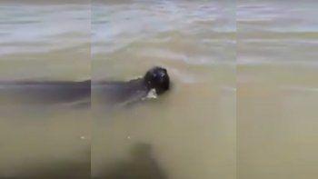 Un lobo marino se enganchó con una boya y tuvieron que rescatarlo