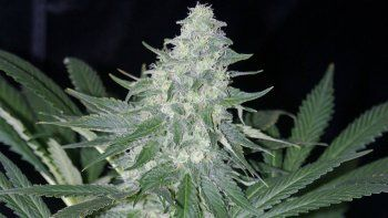 Uno de cada cuatro rionegrinos consumió alguna vez marihuana.