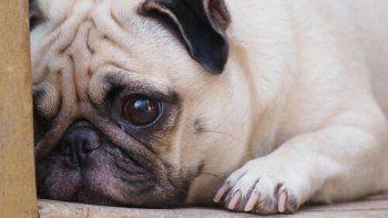 preocupacion entre vecinos por una ola de robos de perros de raza