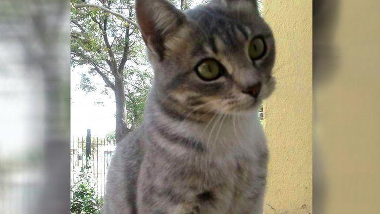 La gata que se llevó por error y ahora buscan a sus dueños.