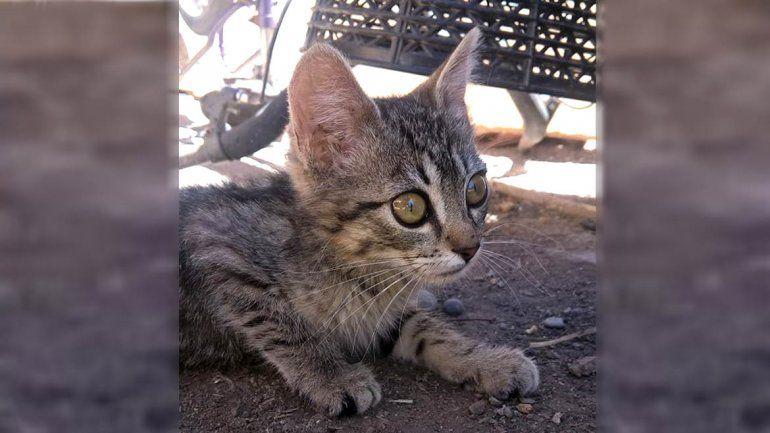 Murió Totoro, el gatito que movilizó a toda la comunidad cipoleña