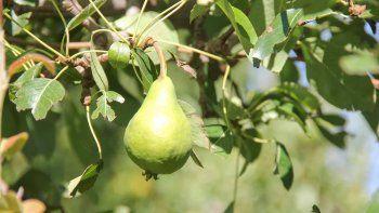 A partir del año que viene ingresarán al país peras de Corea del Sur.