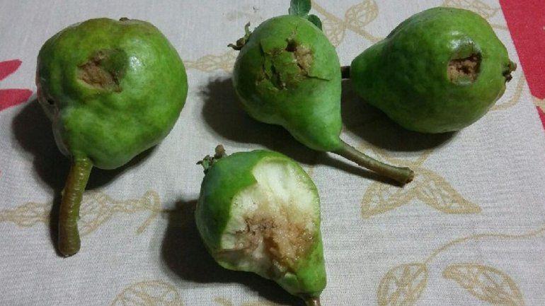 Hay fruta destrozada desde Chichinales a Campo Grande.