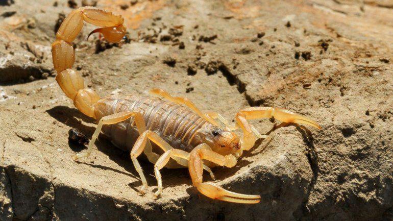 Los también llamados escorpiones abundan en las épocas de calor.