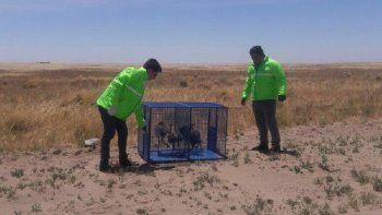 Rescataron a cinco crías de ñandú encerrados en una casa en Viedma