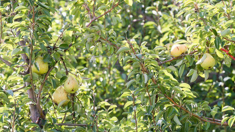 Las peras maduran día a día en las chacras del Alto Valle.