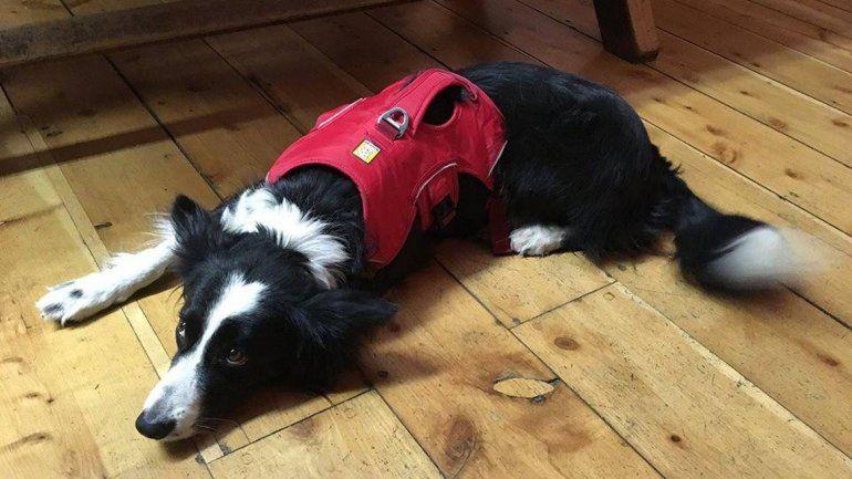 Una perrita neuquina ayudará en la búsqueda de Joaquín en Bariloche